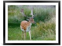 Deer in the Long Grass, Framed Mounted Print