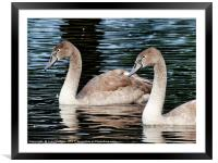 Two Cygnets                         , Framed Mounted Print