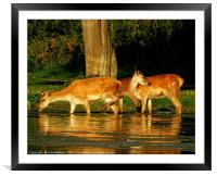 Deer in the Water, Framed Mounted Print