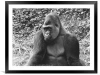 Gorilla in the Grass, Framed Mounted Print