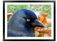 Jackdaw and Autumn Colours               , Framed Mounted Print