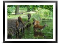 Wild Deer at a Water Hole, Framed Mounted Print