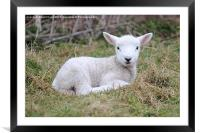 Lamb at rest, Framed Mounted Print
