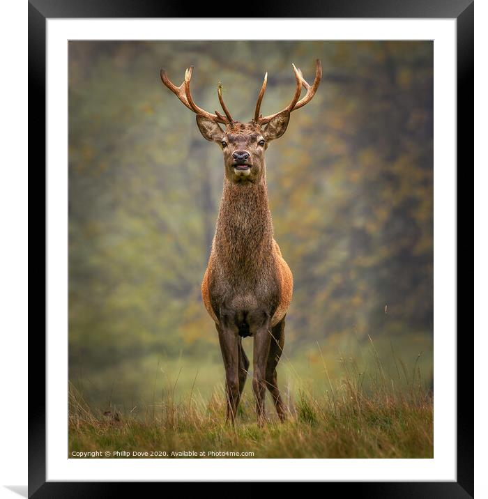 Buy Framed Mounted Prints of Stag at Studley Royal by Phillip Dove