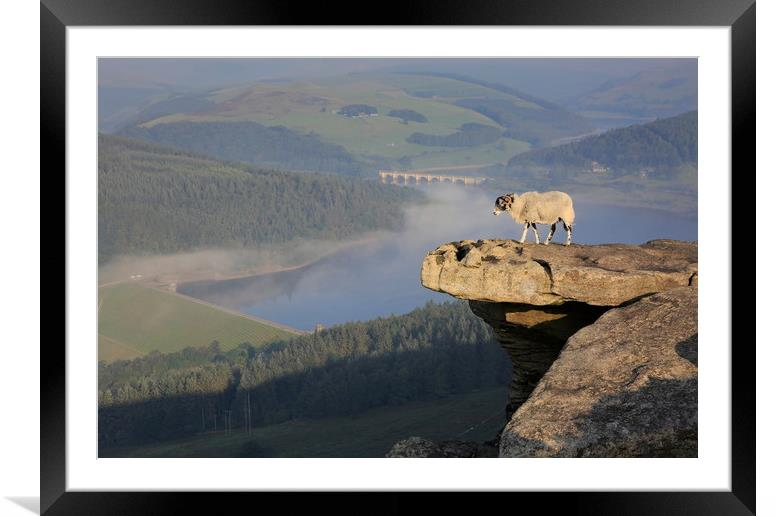 Buy Framed Mounted Prints of A sheep enjoying the view from Bamford edge by MIKE HUTTON