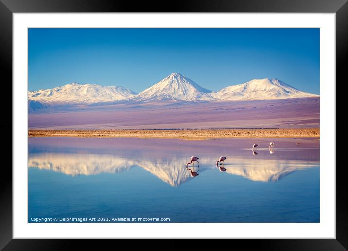 Buy Framed Mounted Prints of Andean flamingos in Atacama salar, Chile by Delphimages Art