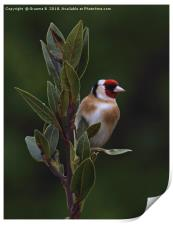 Goldfinch in an apple tree, Print