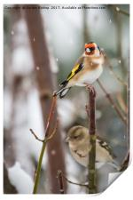 Goldfinch on a snow day, Print
