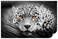 Jaguar Stare isolations, Print