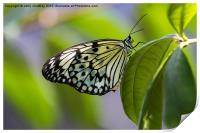 Paper Kite Butterfly, Print