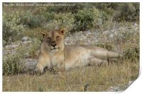 Lioness taking the suns rays, Print