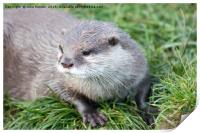 Asian Short Clawed Otter, Print