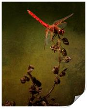 Red Dragonfly on Dead Plant, Print