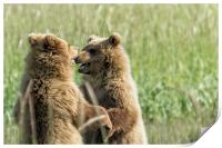 Brown Bear Cubs - Face Off, Print