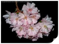 Prunus Blossom on Black, Print