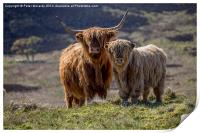 Highland Cattle, Print