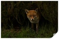 Red Fox Looking Through A Hedge , Print