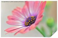 Beautiful Osteospermum, Print