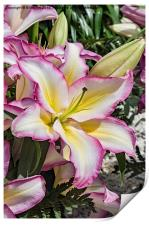 Lily Lovely, Print