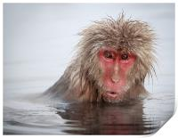 Curley (Japanese Macaque), Print