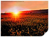 Rapeseed Flowers at Sunset, Print