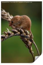 Harvest mouse, Print