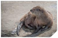 Asian short-clawed otter, Print
