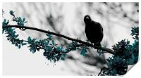 Nosey Starling, Print
