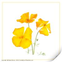 California poppies 2, Print