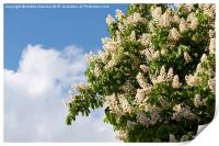 blooming Aesculus on blue sky in sunlight , Print