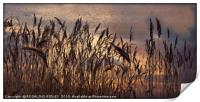 """""""Reeds in a breeze"""", Print"""