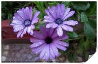 Water droplets on flower,, Print