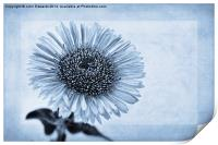 Cyanotype Aster with Textures, Print