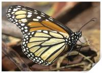 Monarch Butterfly closeup and personal, Print