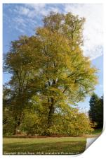 Tree with beautiful autumn colours at Nowton Park, Print