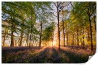 Bluebells forest at sunrise in English landscape , Print