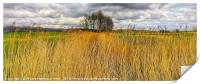 Reed bed in Kent , Print