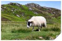sheep in pasture eating wild grass, Print