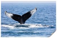 Tail of Whale, Cape Cod, Print
