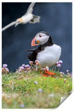 Atlantic Puffin and Flying Gannet, Print