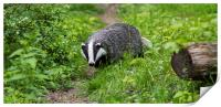 English Badger, Print