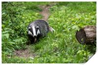 Badger on Wildlife Track, Print