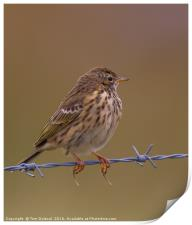 Highlands Meadow Pippit, Print