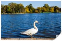 Swan at the Serpentine in Hyde Park, Print