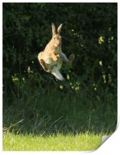 Brown Hare , High Jump    small sizes , Print
