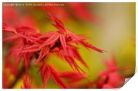 Red Maple, Print