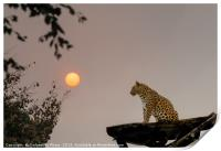 North Chinese Leopard and sun setting, Print