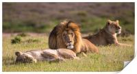 the Lion King and his wives repose in the wild , Print