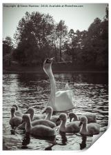 A Swan and Cygnets on Sefton Park Lake, Liverpool., Print
