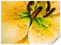 Lily yellow flower close up focusing on the pistil, Print